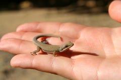 Madagascar Gecko Royalty Free Stock Photos