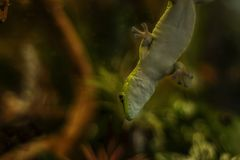 Madagascar gecko on glass in a terrarium royalty free stock images