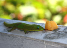 Madagascar Gecko. A green Madagascar gecko eats a piece of cantaloup Stock Image