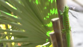 Madagascar gecko Phelsuma green lizard jumps from palm tree stock video