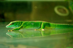 A Madagascar Gecko Sticking On the Glass Stock Photo