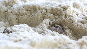 Madagascar Ghost crab on the beach digging hole stock video