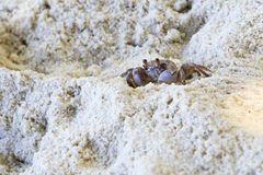 Madagascar Ghost crab on the beach of island Royalty Free Stock Photography