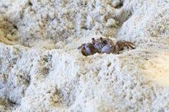 Madagascar Ghost crab on the beach of island. Praslin. Seychelles Royalty Free Stock Photography