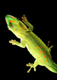 Madagascar Giant Day Gecko Stock Image
