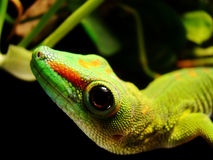 Madagascar Giant Day Gecko Stock Photo