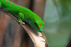 Madagascar giant day gecko. In Zurich Zoo Royalty Free Stock Image