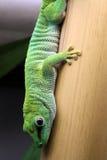 Madagascar giant day gecko royalty free stock photography