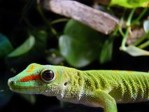 Madagascar giant day gecko Stock Images