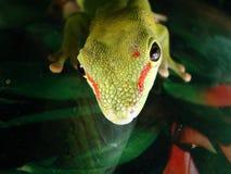 Madagascar Giant Day Gecko Stock Photo