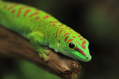 Madagascar giant day gecko. The Madagascar giant day gecko Stock Image