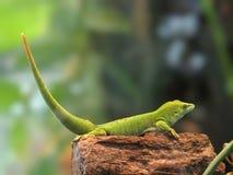 Madagascar Giant Day Gecko Royalty Free Stock Photos