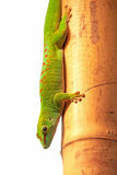 Madagascar giant day gecko (Phelsuma grandis) Royalty Free Stock Photography