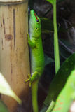 Madagascar giant day gecko Royalty Free Stock Image
