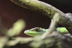 Madagascar giant day gecko Royalty Free Stock Photography