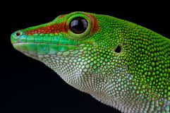 Madagascar giant daygecko Royalty Free Stock Image