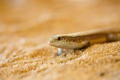 Madagascar girdled jaszczurki, Madagascar przyroda Fotografia Stock