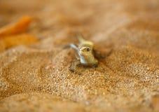Madagascar girdled jaszczurki, Madagascar przyroda Obrazy Stock