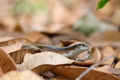 Madagascar girdled jaszczurki Zonosaurus madagascariensis Obrazy Stock