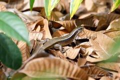Madagascar girdled jaszczurki Zonosaurus madagascariensis Zdjęcie Royalty Free