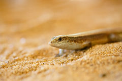 Free Madagascar Girdled Lizard, Madagascar Wildlife Stock Photography - 85146972