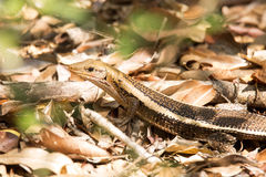 Madagascar girdled lizard, Zonosaurus madagascariensis lives on earth, reservations Tsingy, Ankarana, Madagascar. One Madagascar girdled lizard, Zonosaurus Stock Photography