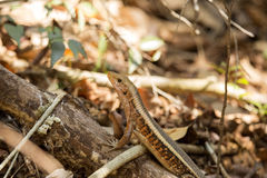 Madagascar girdled lizard, Zonosaurus madagascariensis lives on earth, reservations Tsingy, Ankarana, Madagascar. One Madagascar girdled lizard, Zonosaurus Stock Photos