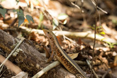 Madagascar girdled lizard, Zonosaurus madagascariensis lives on earth, reservations Tsingy, Ankarana, Madagascar. One Madagascar girdled lizard, Zonosaurus Stock Images