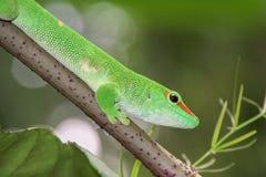 Madagascar gold day dust gecko Stock Photos