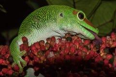 Madagascar gold day dust gecko Stock Photo