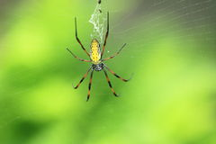 Madagascar golden orb weaver. Spider on the net Stock Photography