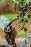Madagascar Ground Boa Royalty Free Stock Photo