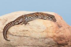 Ocelot Gecko Paroedura pictus royalty free stock photos