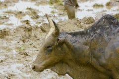 Madagascar hard working ox Stock Image