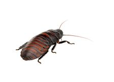 Madagascar hissing cockroach Stock Image