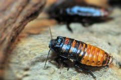Madagascar hissing cockroach Stock Photos