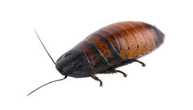 Madagascar hissing cockroach isolated. Gromphadorhina portentosa stock photo