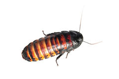 Madagascar hissing cockroach stock photography