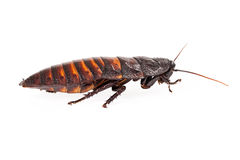 Madagascar Hissing Cockroach Profile Royalty Free Stock Images