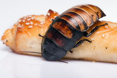 Madagascar hissing cockroach on white background Royalty Free Stock Images