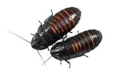 Madagascar hissing cockroaches Stock Photos