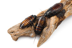 Madagascar hissing cockroaches Royalty Free Stock Photo