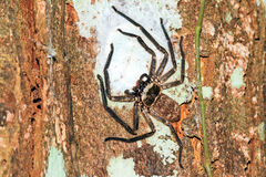 Madagascar Huntsman spider Stock Photos