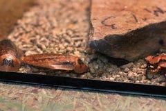 Madagascar kackerlackor i en terrarium royaltyfri bild
