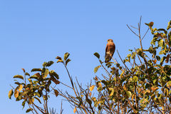 Madagascar Kestrel Stock Photos