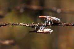 Madagascar Lantern bugs Stock Image