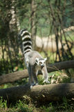 Madagascar lemur Stock Image