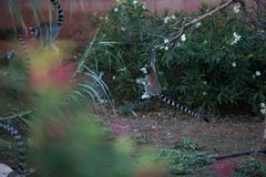 Madagascar lemur playing royalty free stock photos