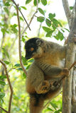 Madagascar Lemur Royalty Free Stock Photography