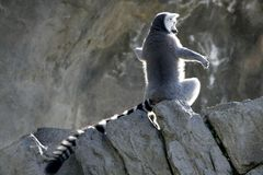 Madagascar Lemur getting sun bath Stock Image